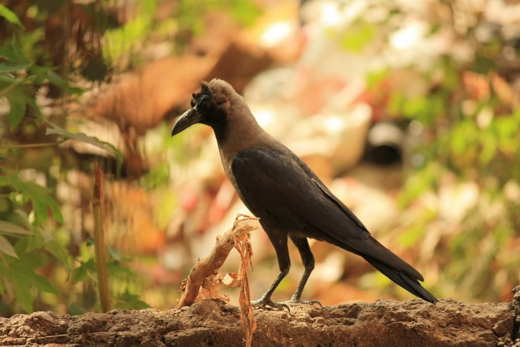 crow-390603_1920