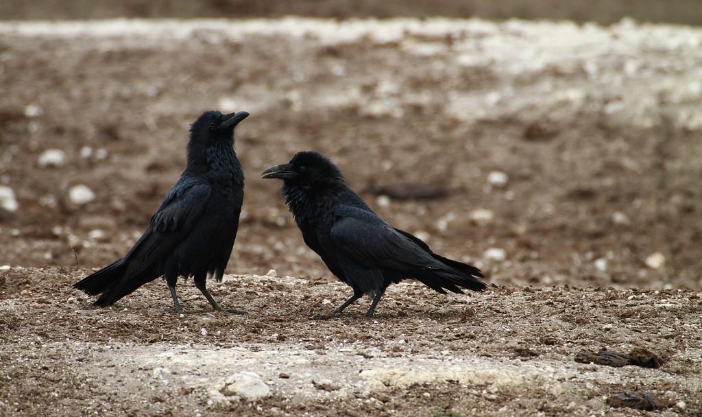 crow-985618_1920