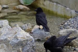Rabenvögel in Schönbrunn